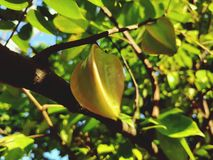 Star fruit  branches in tree