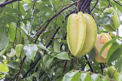 Star fruit hanging on a tree.Carambola tree,Star apple,Star frui Stock Photo