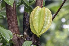 Star fruit hanging on a tree.Carambola tree,Star apple,Star frui Royalty Free Stock Photo