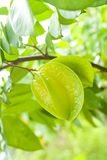 Star Fruit in Nature