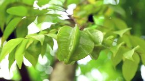A star fruit on a tree stock video