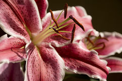 Star Gazer Lily Stock Image