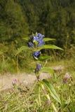 Star Gentian (Gentiana cruciata) Royalty Free Stock Image