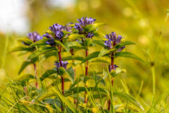 Star Gentian. Wildlife Picture of a rare star gentian in Bavaria Stock Images