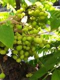 Star gooseberry. Fruit star gooseberry Royalty Free Stock Images