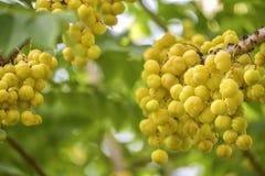 Star gooseberry fruit. Phyllanthus acidus, known as the Otaheite Royalty Free Stock Image