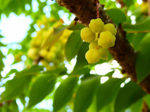 Star gooseberry fruit. Royalty Free Stock Photography