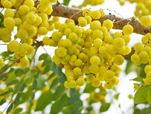 Star gooseberry fruits Stock Image