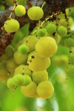 Star gooseberry. Gooseberry fruits high in vitamin C with citrus stock photography
