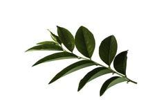 Star gooseberry leaf Royalty Free Stock Photo