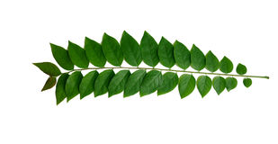 Star gooseberry leaves.Star gooseberry leaves close up. Isolated on white background. Royalty Free Stock Photos
