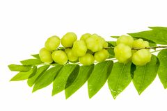 Star gooseberry and leaves Royalty Free Stock Images