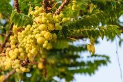 Star gooseberry. Tree, fruit nature high vitamin C, fresh fruit concept stock image