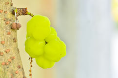 The star gooseberry on tree Royalty Free Stock Photo