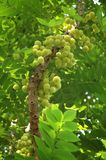 Star Gooseberry Royalty Free Stock Photography