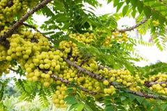 Star gooseberry on tree background. Star gooseberry fruit on tree background royalty free stock image