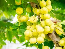Star gooseberry on tree. Royalty Free Stock Photography