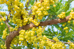 Star gooseberry on tree Royalty Free Stock Photography