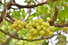 Star gooseberry on tree Stock Images