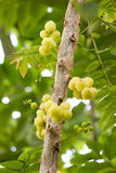 Star gooseberry on tree. Royalty Free Stock Images