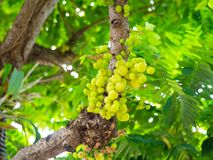 Star gooseberry on tree. fruit and vegatable Thailand fruit,bunch. Star gooseberry on tree. fruit and vegatable Thailand fruit bunch royalty free stock photos