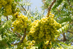 Star gooseberry on tree. In the garden stock photography