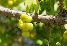 Star gooseberry on tree. In the garden royalty free stock photo