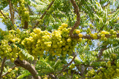 Star gooseberry on tree. With garden background Royalty Free Stock Photos