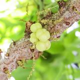 Star gooseberry on tree. Stock Photo