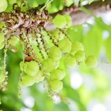 Star gooseberry on tree. Stock Photography