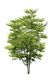 Star Gooseberry tree isolated Royalty Free Stock Photography