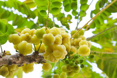 Star gooseberry on tree. Royalty Free Stock Image