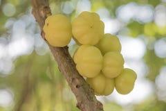 Star gooseberry. Tree top fruit sour Royalty Free Stock Photos