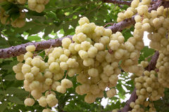 Star goosebery. Full ripe gooseberry tree, Phayao Thailand Royalty Free Stock Photo