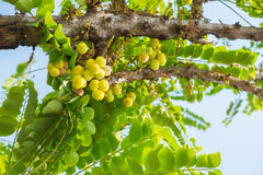 Star Gosseberry Phyllanthus acidus tree Stock Photography