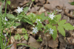 Star or Great Chickweed (Stellaria pubera) Stock Photos