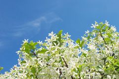 Star Jasmin with blue sky Stock Images