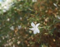 Star jasmine blossom. Beautiful blossom of star jasmine flowers Stock Photography