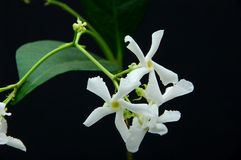 Star jasmine flowers Royalty Free Stock Photos