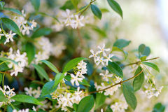 Star jasmine flowers on a blooming bush Royalty Free Stock Photos