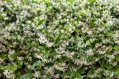 Star Jasmine (Trachelospermum jasminoides) Royalty Free Stock Images