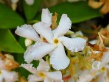 Star jasmine. White propeller like, fragrant flower. Trachelospermum jasminoides royalty free stock photo