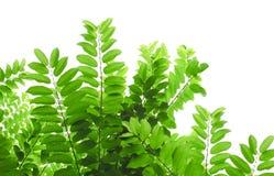 Star las hojas del verde de la grosella espinosa y aislado en blanco Imágenes de archivo libres de regalías