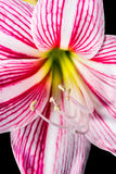 Star lily flower Stock Images