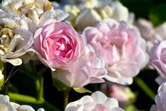 The star. Little pink rose btw white roses Royalty Free Stock Image
