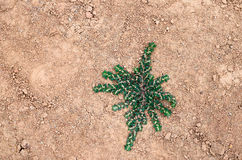 Star looking like green plant crawling on orange soil Royalty Free Stock Images