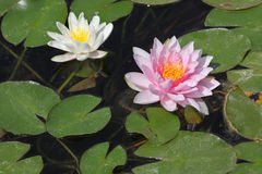 Star lotus (Nymphaea nouchali). Star lotus (Nymphaea nouchali), also known as the white water lily royalty free stock photography