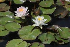 Star lotus (Nymphaea nouchali). Royalty Free Stock Image