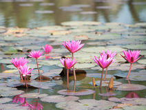 Star lotus, Nymphaea nouchali Stock Images
