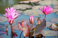 Star lotuses, Nymphaea nouchali Royalty Free Stock Images